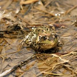 Leopard Frogs Mating by Jennifer Howard