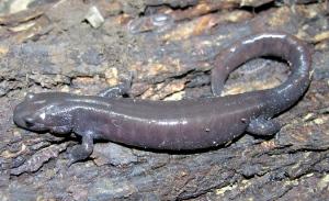 Jefferson-hybrid-salamander Photo By: Calvin Knaggs